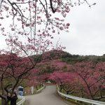 沖縄本島北部の八重岳の桜情報(2018年1月31日)。