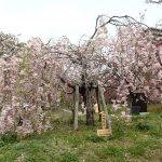 造幣局広島支局で63品種216本の桜樹をのんびりを見て一句はいかが?