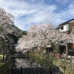 柳だけでなく桜並木も楽しめる城崎温泉。