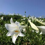 月桃とテッポウユリの開花に初夏を感じる
